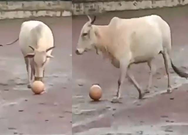 cow playing football